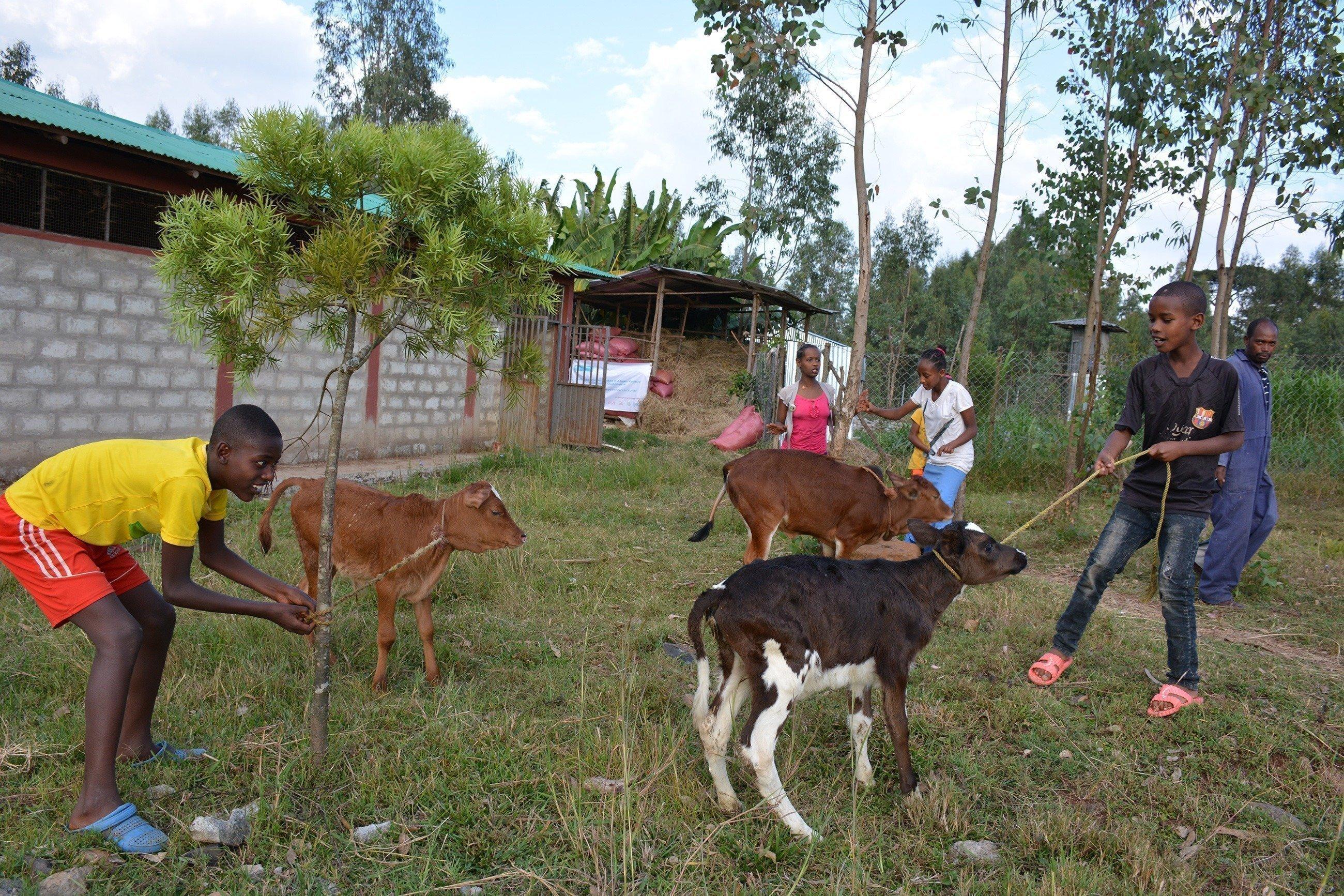 Plusieurs garçons s'occupent de leur jardin et de bœufs.