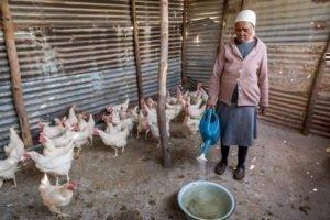 Hühnerzucht in Lesotho
